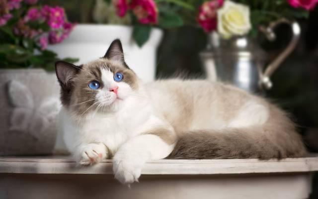 布娃娃,蓝色的眼睛,看,猫