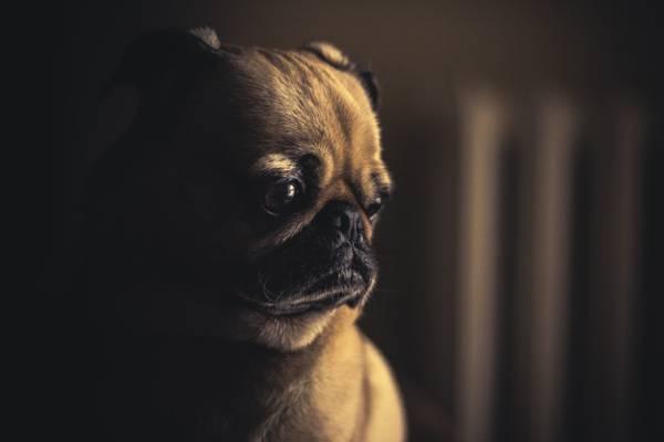 狗,哈巴狗,小狗,宠物高清壁纸