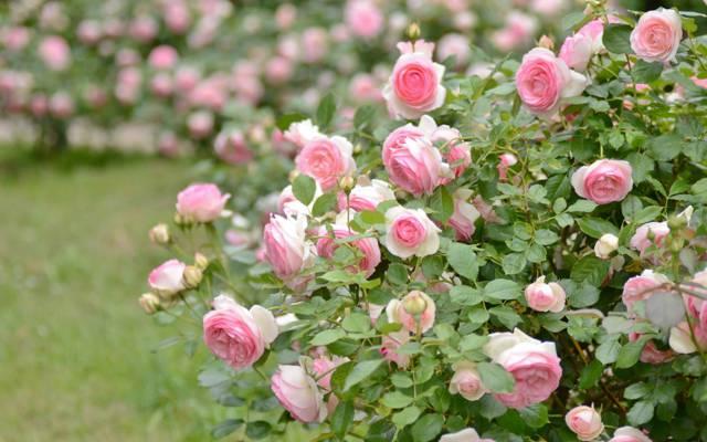 布什,玫瑰,粉红色