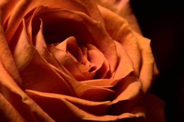 背景,花,玫瑰