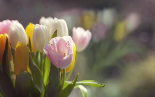 鲜花,春天,郁金香