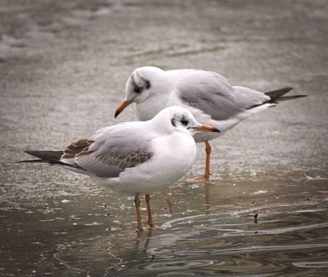 两只白色的鸟身上的水,黑头鸥高清壁纸