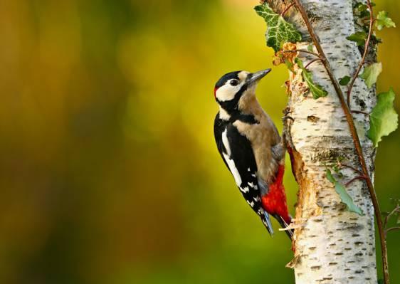 啄木鸟,桦树,鸟,有序的森林,分支,散景,树