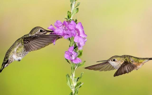 花,蜂鸟,飞行,翅膀,鸟
