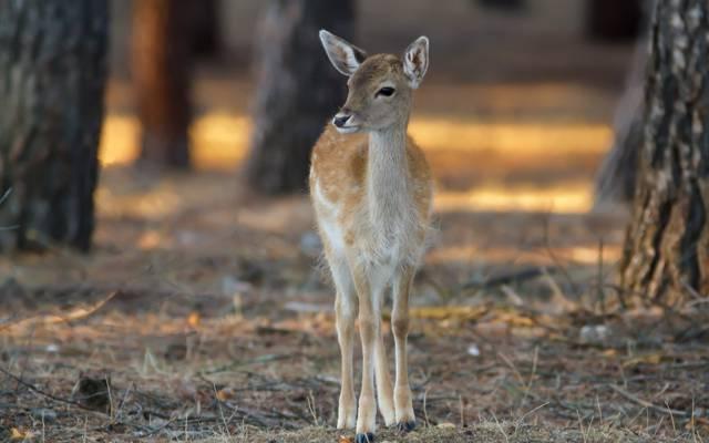 大自然,斑比,鹿