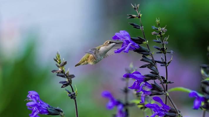 绿色蜂鸟紫色豹花,弗洛雷斯高清壁纸的选择性焦点摄影