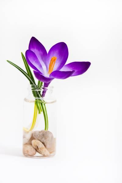 紫色的花,番红花高清壁纸