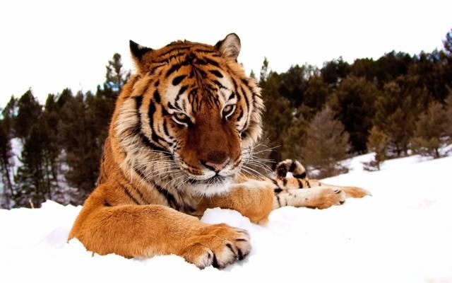 看,爪子,雪,冬天,脸,老虎,严重,森林
