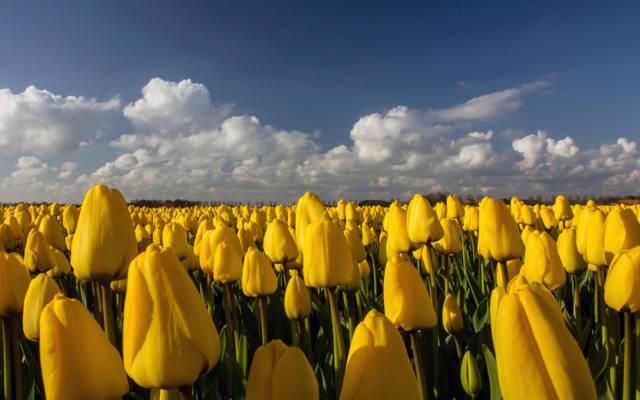 鲜花,种植园,田地,郁金香,黄色
