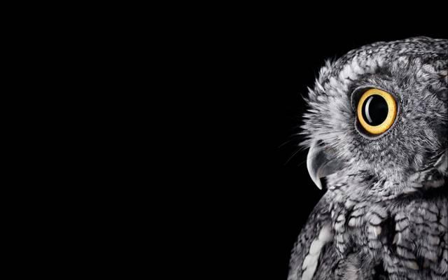 眼睛,单块,BW,28英寸,新的壁纸,表面工作室,猫头鹰,羽毛,微软,窗口