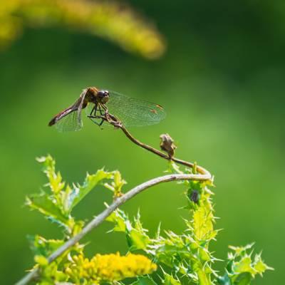 在植物枝杈上的仙人掌焦点摄影,odonate高清壁纸的棕色蜻蜓