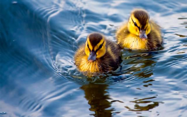 壁纸小鸡,小鸭,水,鸭,一对夫妇