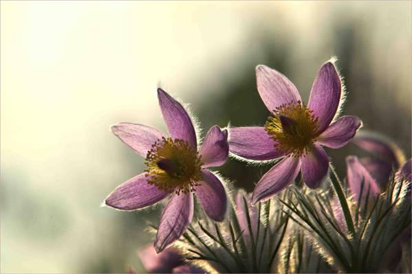 鲜花,丁香,背景