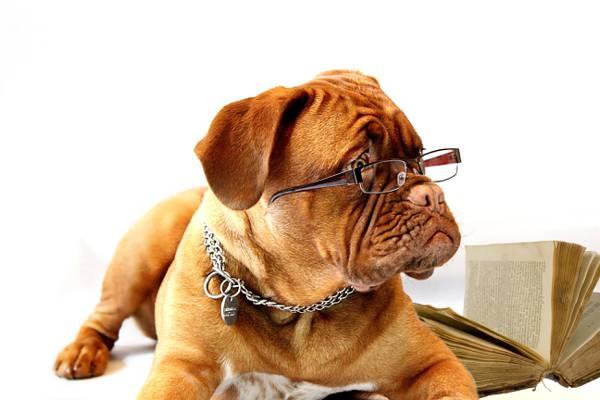 Dogue De Bordeaux戴着眼镜近书高清壁纸