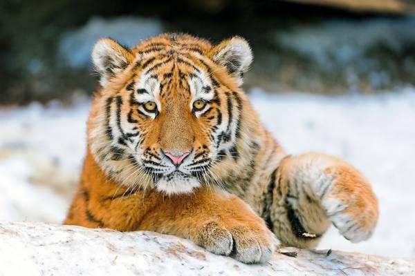 看,老虎,脸,爪子,老虎