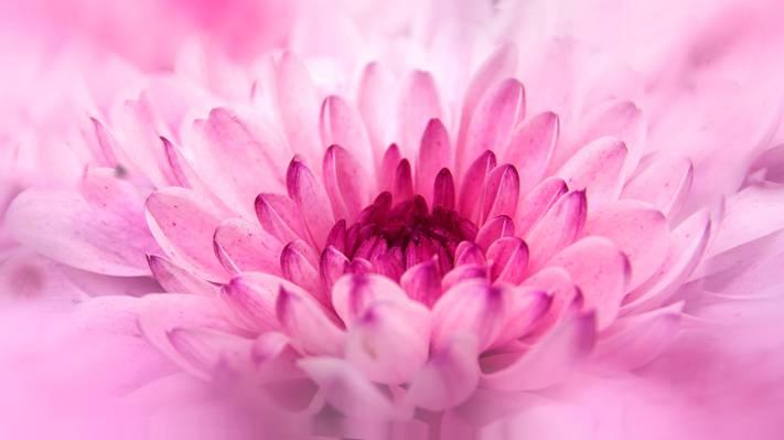 关闭粉红色的花高清壁纸的镜头