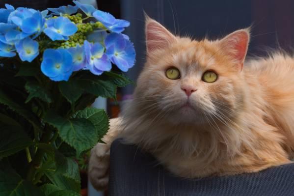 猫,花,红猫,绣球花,枪口,看,肖像