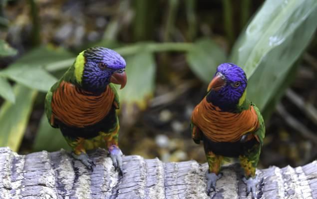 在树高清壁纸上的两个蓝色和橙色的鸟