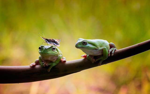 一对,二,分支,青蛙,蝴蝶