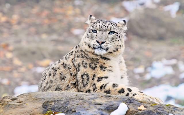 看看,uncia uncia,捕食者,IRBIS,雪豹,雪豹,脸