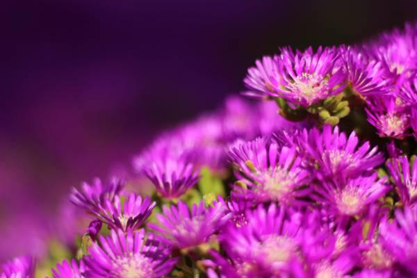 紫色的花朵高清壁纸