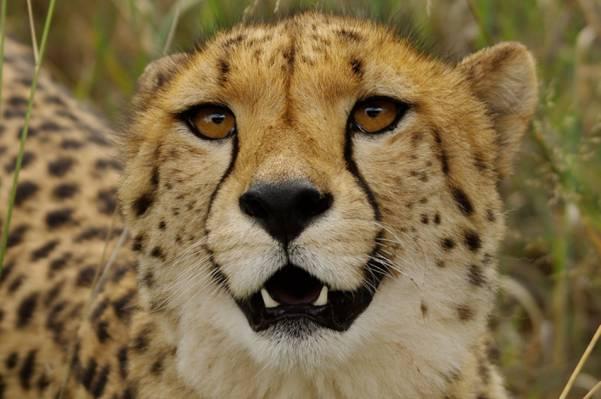 关闭豹子HD墙纸照片