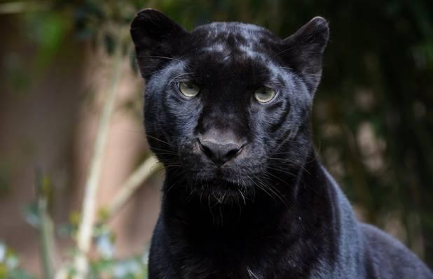 肖像,捕食者,动物园,豹,黑豹,脸,野生猫