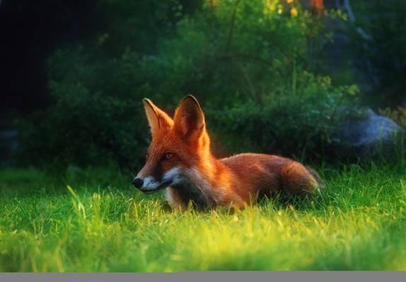 草,狐狸,红色