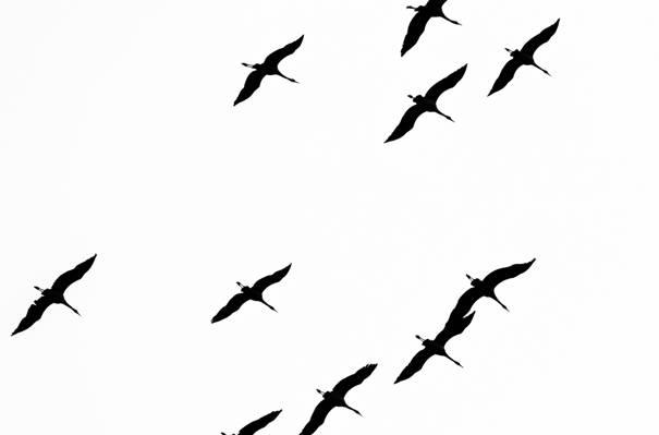 飞行,自由,鸟类