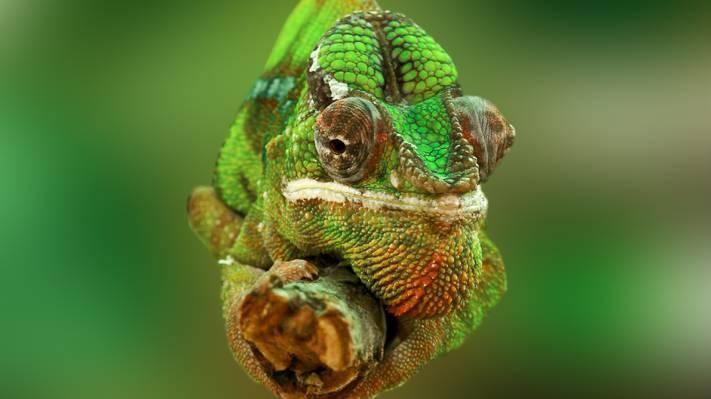变色龙,眼睛,大自然