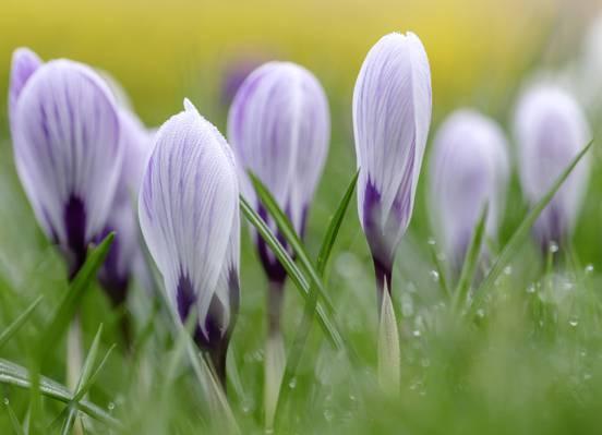 紫色的花朵,番红花,番红花高清壁纸