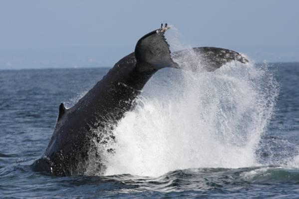 灰鲸潜水摄影,驼背,鲸鱼,福禄克高清壁纸