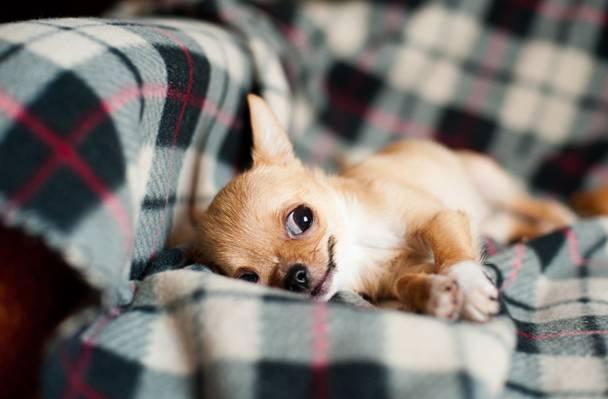 棕褐色吉娃娃躺在格子纺织高清壁纸上的选择性焦点摄影