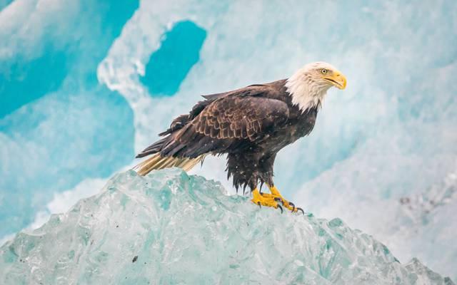 冰川湾国家公园,秃头鹰,鸟,自然,鹰,冰