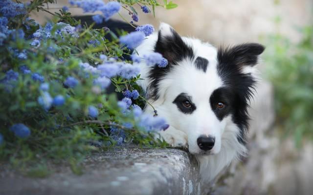 壁纸狗,脸,鲜花,看,边境牧羊犬