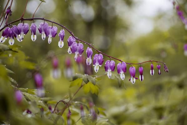 紫罗兰色和白色的花朵高清壁纸