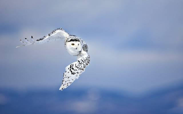 SPOT,WINGS,PREDATOR,SKY,FLIGHT,BIRD,OWL,背景