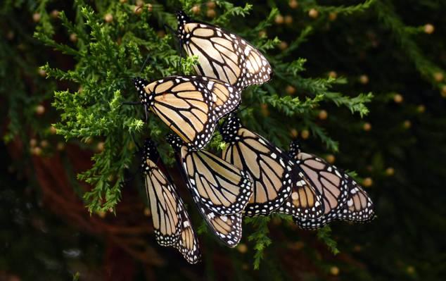 黑色和棕色的什锦蝴蝶,帝王蝶高清壁纸