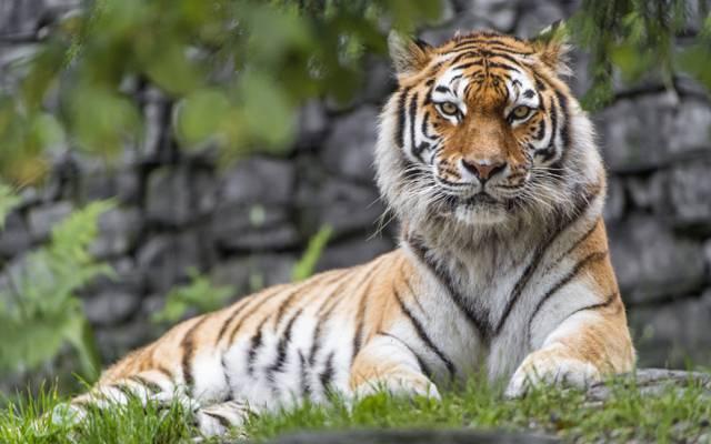 虎,英俊,掠食者