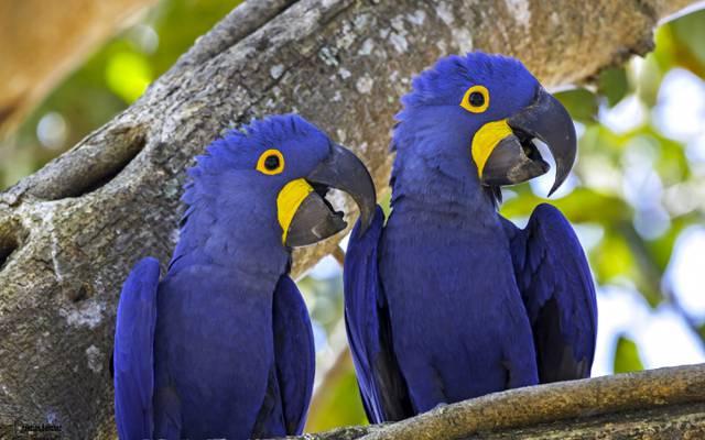 一对夫妇,鹦鹉,风信子金刚鹦鹉,鸟,树