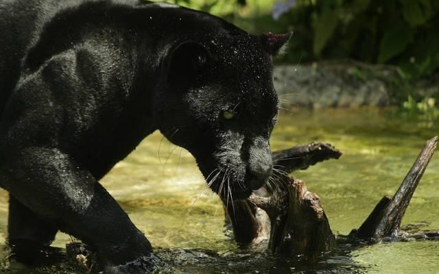 壁纸野猫,脸,洗澡,黑豹,动物园,捕食者,黑色捷豹