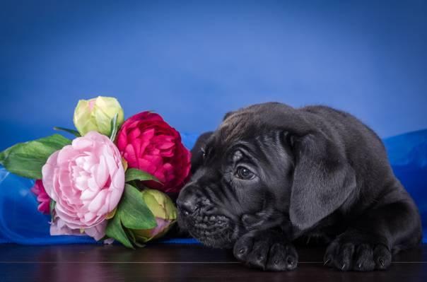花,小狗,甘蔗Corso