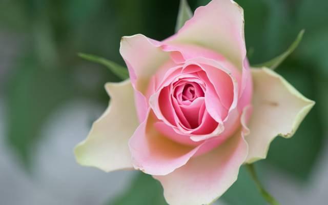 芽,宏,花瓣,玫瑰