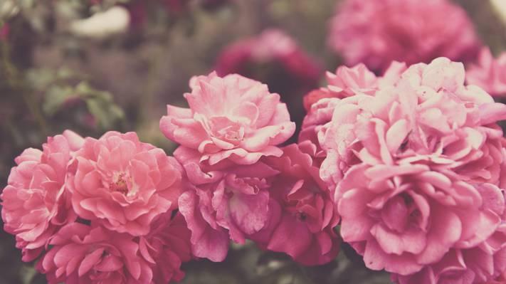 粉色的玫瑰