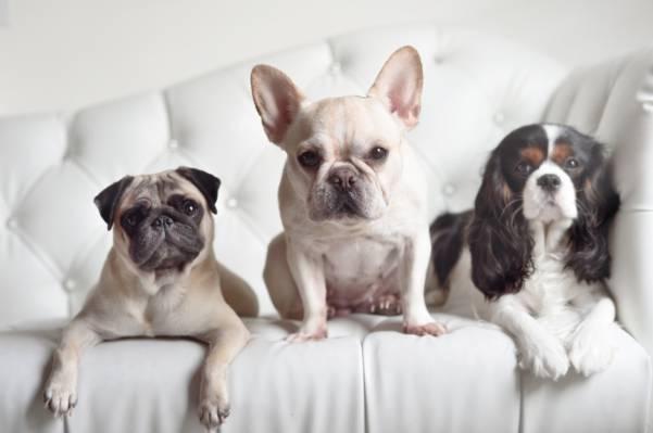 法国斗牛犬,三位一体,看,狗,三重奏,西班牙猎狗,哈巴狗