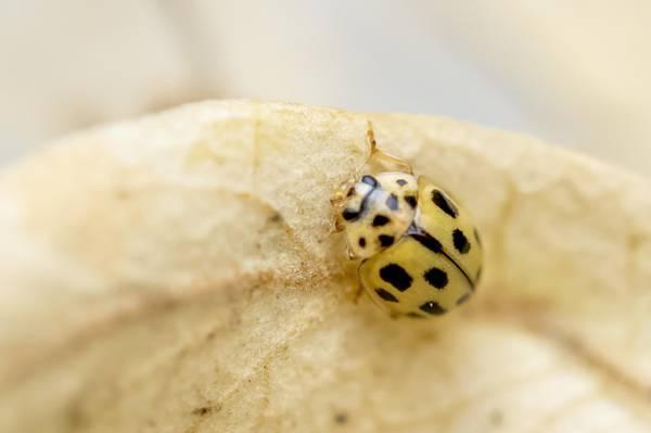 黄色和黑色的甲虫bug高清壁纸的微型镜头