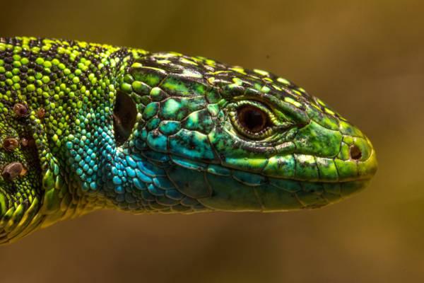 关闭摄影的绿色,蓝色和黑色的蜥蜴,拉萨塔天蛾,西部绿蜥蜴高清壁纸