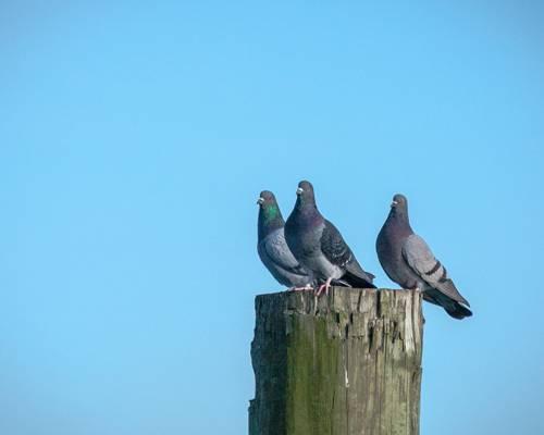 群鸽子高清壁纸