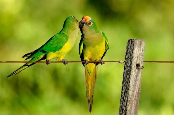 电线,鹦鹉,栅栏,吻