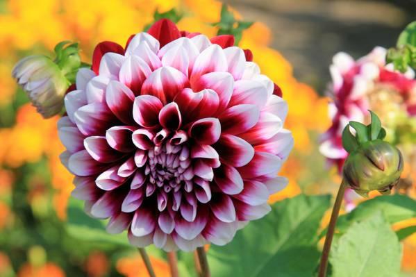 夏天,性质,开花,花卉,大丽花